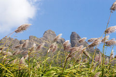 Mountain range in Mauritius with sugar cane field.  royalty free stock image