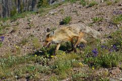 Mountain Red Fox living at high elevations with yellow and cream colored fur. Royalty Free Stock Photo