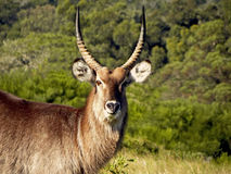 Mountain Reed Buck male Royalty Free Stock Photography