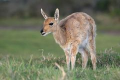 Mountain Reedbuck Antelope Stock Photo