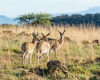 Mountain Reedbuck. A male Mountain Reedbuck with two females iin Southern Sfrican savanna stock photography
