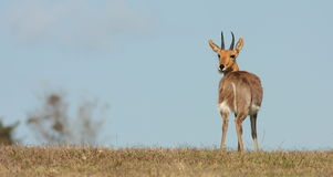 Mountain Reedbuck ram poses in South Africa. A antelope in Africa called the mountain Reedbuck poses for a photo in Kragga kamma Park,Eastern Cape,South Africa Royalty Free Stock Photography