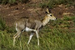 Mountain reedbuck, South Africa Royalty Free Stock Photo