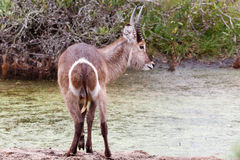 Mountain reedbuck at the Water. Kragga Kamma Game Park in Port Elizabeth lush coastal forest and grassland is home to vast herds of African game royalty free stock photo