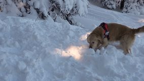 Mountain rescue dog 4k. Rescue dog and a volunteer from Mountain rescue service participate in a training for finding people buried in an avalanche. Both men and stock video footage