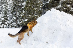 Mountain Rescue Service dog at Bulgarian Red Cross during a trai Royalty Free Stock Photo
