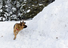 Mountain Rescue Service dog at Bulgarian Red Cross during a trai Stock Photo