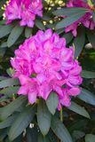 Mountain Rhododendron – Rhododendron catawbiense Stock Image