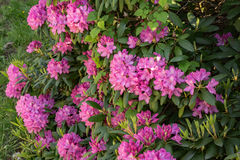 Mountain Rhododendron – Rhododendron catawbiense Royalty Free Stock Photography