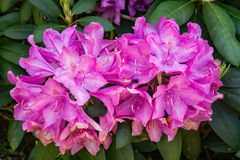 Mountain Rhododendron – Rhododendron catawbiense Royalty Free Stock Photo