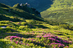 Mountain rhododendron blossoming Stock Photo
