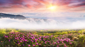Mountain rhododendrons of Ukraine Stock Photography