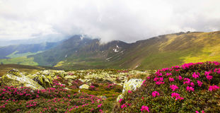 Mountain ridge landscape view with fog and closeup Rhododendron Stock Image
