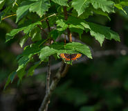Mountain ringlet on a leaf Royalty Free Stock Photos