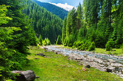 Mountain river in the coniferous forest. Royalty Free Stock Image