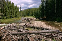 Mountain river; driftwood; spruce trees Stock Photography
