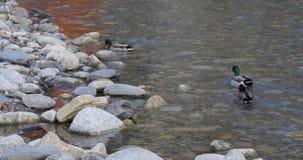 Mountain river ducks life 4k spain stock footage