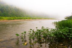 Mountain river and forest in fog at dawn Royalty Free Stock Photos