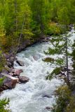 Mountain river and green coniferous trees. Altai, Russia. Stock Photos