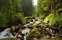 Wild mountain river in a pine forest landscape Stock Image