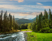 Mountain river in pine forest at sunrise Stock Images
