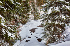 Mountain river in the winter. Landscape with a mountain river in the winter going through pine forest Royalty Free Stock Image