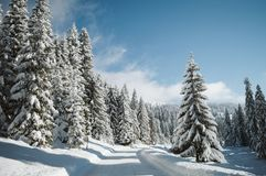 Mountain road covered with snow and fenced with pine trees royalty free stock image