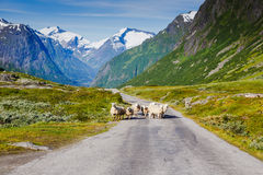 Mountain road with sheeps and snowy mountains on the background Stock Image