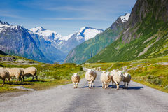 Mountain road with sheeps and snowy mountains on the background Royalty Free Stock Photo
