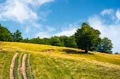 Mountain road uphill along the forest. Beech tree stand separately on the grassy meadow. lovely nature scenery in summer Royalty Free Stock Photo
