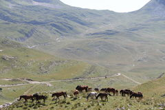Mountain road with wild horse royalty free stock images