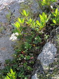 Mountain Rock Garden. A group of plants growing between 2 rocks Royalty Free Stock Photo