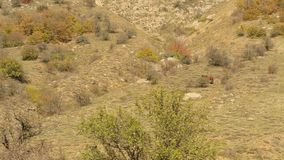 Mountain, rocky valley with grazing wild, lonely horse. Shot. Dark brown horse eating grass in autumn pasture in bushy. Mountain, rocky valley with grazing wild stock video