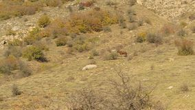 Mountain, rocky valley with grazing wild, lonely horse. Shot. Dark brown horse eating grass in autumn pasture in bushy. Mountain, rocky valley with grazing wild stock video footage