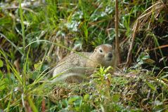 Mountain rodent through the weeds. A furry brown wild rodent sitting among green grasses and weeds looking at you stock photos