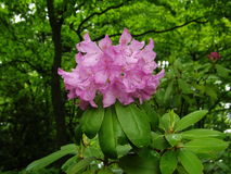 Mountain Rosebay - Rhododendron catawbiense Royalty Free Stock Photography
