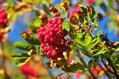Mountain roseship berry Stock Image