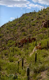 Mountain with saguaro cacti growing Stock Photos