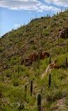 Mountain with saguaro cacti growing stock photos