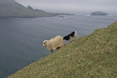 Mountain scenery with Faroese ewe with lamb on a steep mountainside stock photos