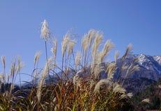 Mountain scenery in Gifu, Japan. Mountain scenery with Cortaderia Selloana grass at sunny day in Gifu, Japan Royalty Free Stock Photo