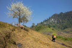 Mountain scenery with Hmong ethnic minority woman carrying cabbage flowers on back, blossom plum tree, white water buffalo and blu. E clear sky stock photo