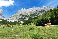 Mountain scenery with resting cows in the austrian alps Stock Photo