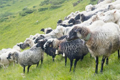 Mountain scenery with sheeps in Carpathians Royalty Free Stock Photography