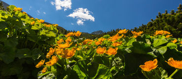 Alpine scenery in the summer, in the Transylvanian Alps, with yellow flowers Royalty Free Stock Photography