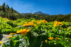 Alpine scenery in the summer, in the Transylvanian Alps, with yellow flowers Royalty Free Stock Photo