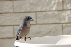 Woodhouse's Scrub Jay. Waiting for food Royalty Free Stock Image