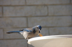 Woodhouse's Scrub Jay. Dropping a peanut in the back yard bird bath stock photo
