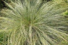 Mountain sedge, Carex montana Royalty Free Stock Image