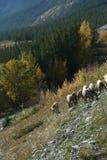 Mountain sheep. On steep road shoulder, eating salt,David Thompson Parkway,Canadian Rockies,Banff,Jasper,Alberta, Canada stock photos